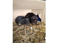 Free to loving home two male guinea pigs