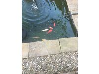 Free Free to good home/pond Pond Goldfish various colours