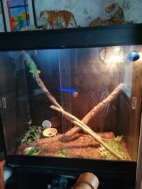 Red n Green iguanas with complete set up