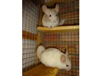 Male Chinchillas for sale ,ready 16th Jan