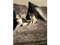 Kittens male 9 weeks old ready for good homes