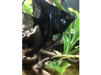 2x black angelfish