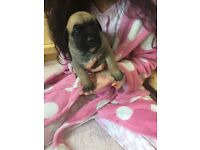 Pure, Full Fawn Presa Canario Puppies, 4 weeks old, chunky & Playful.