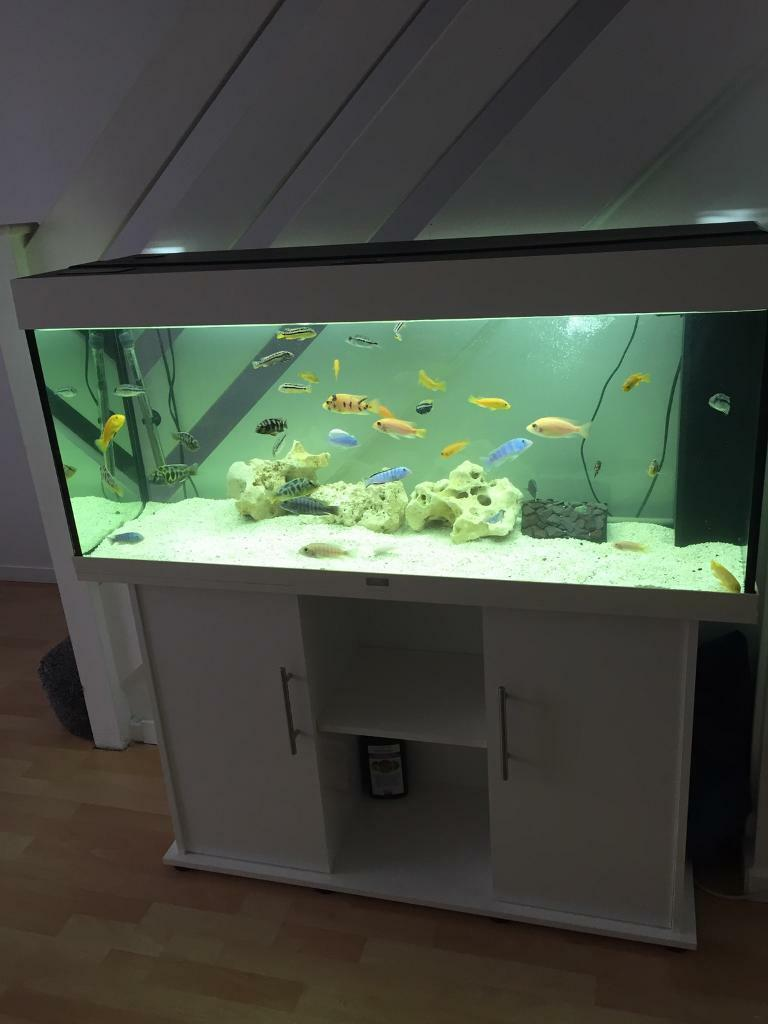 juwel 240 in gloss white aquarium setup in beckton gumtree