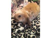 Baby lop rabbit 30£