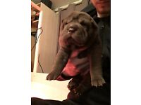 Shar pei puppies for sale!