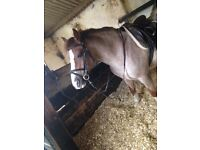 13.2hh pony for loan
