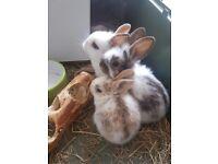 Baby Rabbit Bunnies for Sale