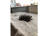 french bulldog puppies, reduced only one boy remaining