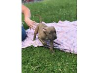 Abkc Bully XL PUPS Quality bloodline