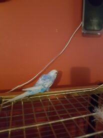 2 tamed budgies