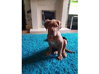Gorgeous Dogue de bordeaux. 5 months old. Genuine enquiries only please.