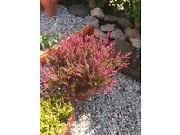 2 heather plants