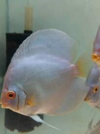 """Discus fish blue diamond 5,5-6"""""""