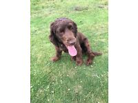 Reluctant sale of 2 great cocker spaniels