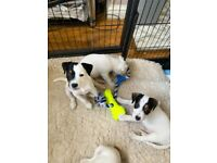 Female jack Russell puppy LAST FEMALE