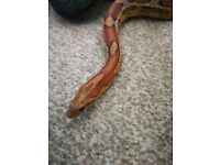 VERY Friendly corn snake, Perfect for a first time snake.
