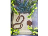 Corn Snake for sale 3yrs old eats weekly & sheds as normal 5ft