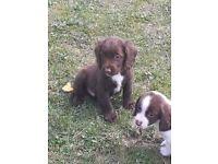 boy cocker spaniel puppy