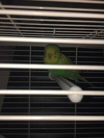 Budgie for sell