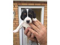 Beagle cross jack Russell