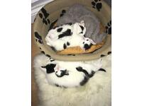 Playful black and white kittens for sale !