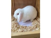 4 mth old LOP rabbit with hutch and one months supply of food and straw and hay