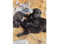 Shepador male puppys