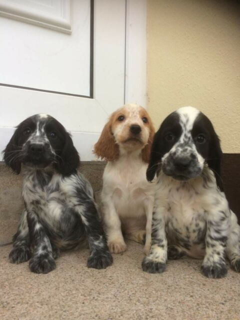 Cocker Spaniel Puppies | in Dromore, County Tyrone | Gumtree
