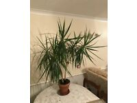 Dracaena / Dragon Plant 140cm Height