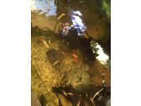 Tropical fish (guppies)