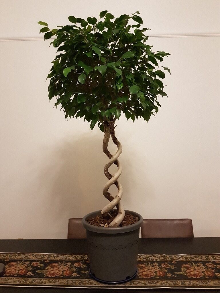 Potted indoor plants, trees for sale - Ficus benjamina ...