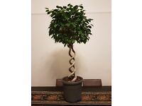 Potted indoor plants, trees for sale - Ficus benjamina , Areca palm, Dragon Plant, Devil's ivy