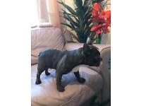 French Bulldog puppies £1000