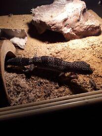 Trio leopard geckos