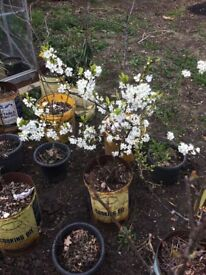 Plum tree plant for sale