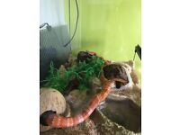 Corn Snake complete with Exo Terra Viv Heat Matt Separate Thermostat complete setup