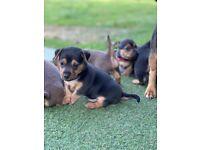 Stunning Miniature Jack Russell Pups.