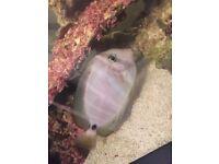 Sailfin tang (marine fish)