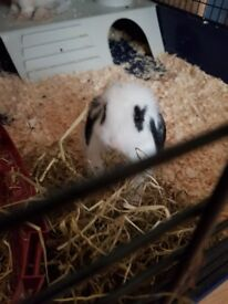 8 week old male bunny