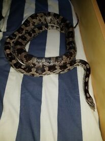Corn Snake With Tank And All Accesories