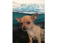 Full pedigree chihuahua pup for sale