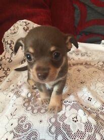 Beautiful FEMALE Chihuahua ready in 5 weeks £700