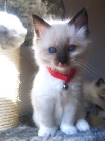 Male Sealpoint Mitted Ragdoll