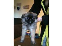 Shug/chihuahua male pup