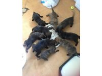 Staffie X germanshepard pups 5 girls and 4 boys