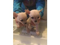 8 week old chihuahua's