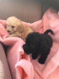 Shizdoodle puppies