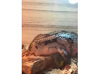 INDONESIAN BLUE TONGUED SKINK FOR SALE