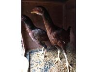 Brazilian aseel chicks
